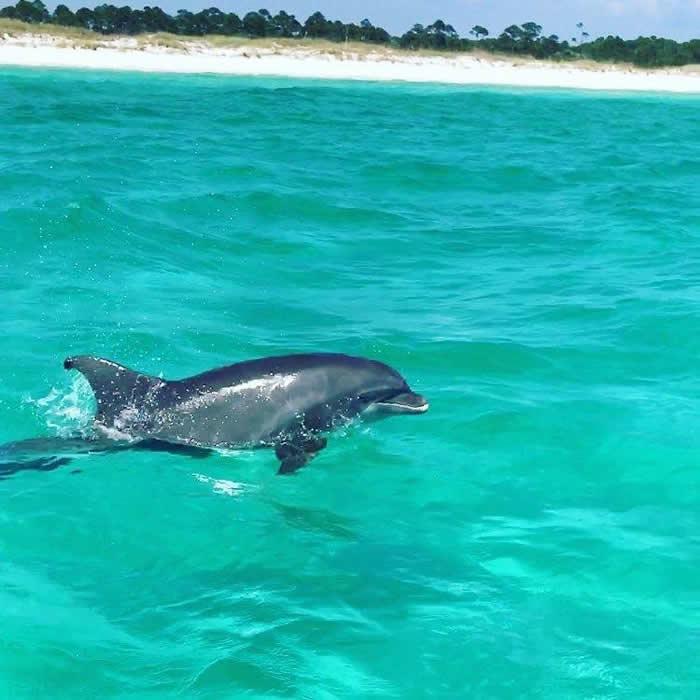 dolphin near coast at Panama City Beach